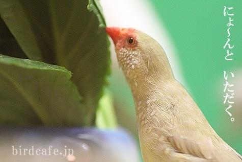 ようこそ!とりみカフェ!!~鳥の写真や鳥カフェでの出来事~-身体を伸ばすコモンチョウ