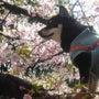 桜、卒業式の季節、映…