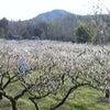 梅がきれいに咲いてましたの画像