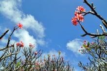 $楽園ハワイ通信 by Lani Tours-プルメリアの林