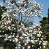 * 白木蓮が満開のお墓参りの画像