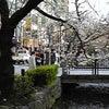 サクラが咲いてた!! 京都市の画像