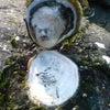 春の磯あそび(岩がきの発見)の画像