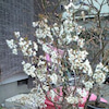 ぼちぼち桜が・・・の画像