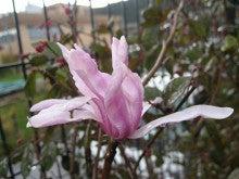スタッフブログ-シデコブシの花