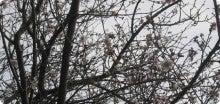 月琴のブログ-寒桜