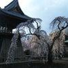 * 慈眼寺のしだれ桜の画像