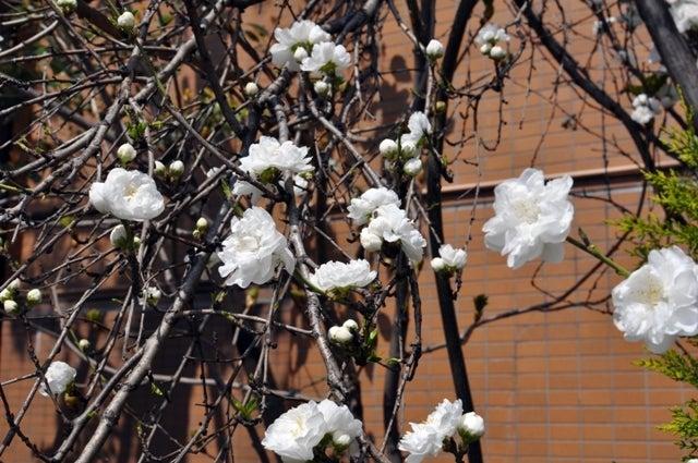 茶々吉とデジ一 のんびり旅-2010/3/27白梅