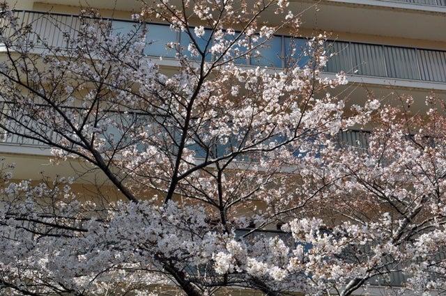 茶々吉とデジ一 のんびり旅-2010/3/27桜満開
