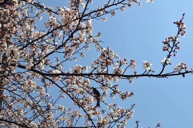 茶々吉とデジ一 のんびり旅-2010/3/27桜とヒヨドリ