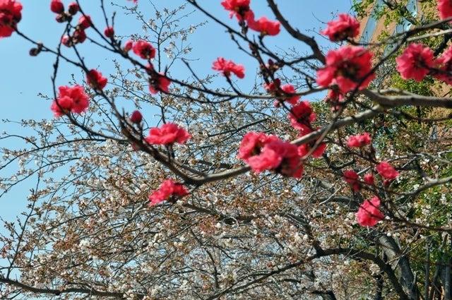 茶々吉とデジ一 のんびり旅-2010/3/27紅梅