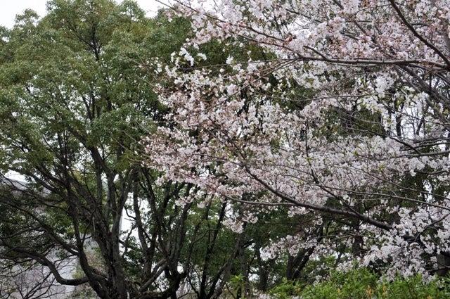 茶々吉とデジ一 のんびり旅-2010/3/28大阪大学桜
