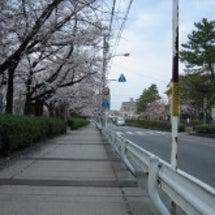 桜とサクラ!お花見の…