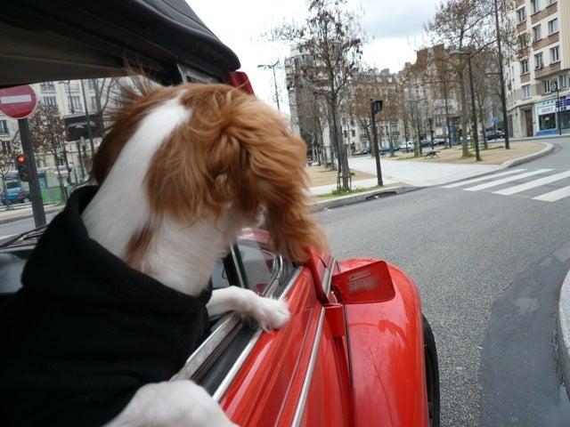 Mon petit parisien Merci est a Paris...-キャバリアキングチャールズパリ松永沙織