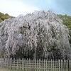 桜を見に行ってきましたの画像