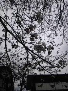ダラックマ日記-sakura
