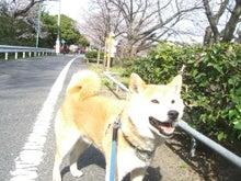 柴犬、優くんです!