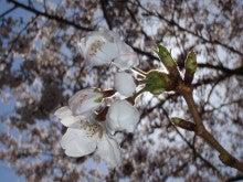 高田明美オフィシャルブログ「Angel Touch」Powered by Ameba-ちょっと不思議な桜