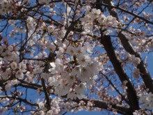 高田明美オフィシャルブログ「Angel Touch」Powered by Ameba-青空と桜