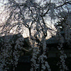 * 夜桜見学の画像
