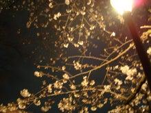 $びびん☆こゆっきー ときどき音楽-桜