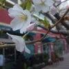 桜と…♪の画像