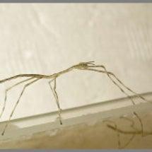 ナナフシモドキの孵化