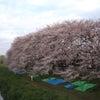 桜咲きました!の画像