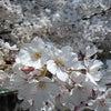 桜咲く☆の画像
