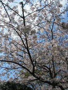一人と4匹の猫-桜