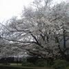 ともえ桜が見頃ですの画像