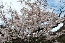 袋田からの手紙-桜