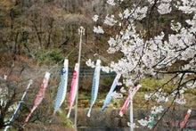 袋田からの手紙-鯉のぼりと桜