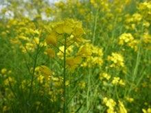 ふたば…☆-菜の花