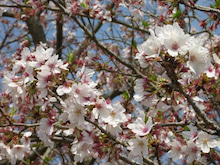 ふたば…☆-桜