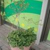 ブルーベリーの木とパセリの画像