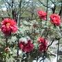 お城とボタンの花
