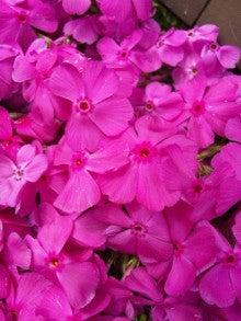 春月の『ちょこっと健康術』-芝桜