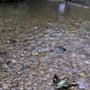 まだ冷たい川でキバラ…