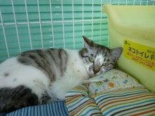 ちび家の猫徒然日記☆彡-ぷっちちゃん
