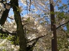 ぜんのブログ-H22桜1