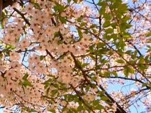 ぜんのブログ-H22桜2