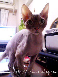 クレイアートでつくる猫 nekonoのブログ-モデルの猫さん
