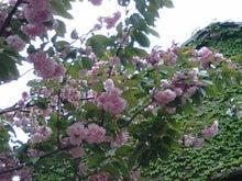 PAOのブログ-八重桜2