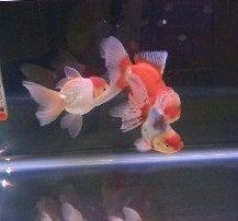 更紗の3LDKアクア-金魚メリーゴーランド?