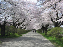 夫婦世界旅行-妻編-北上展勝地の桜
