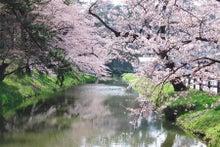 夫婦世界旅行-妻編-弘前城の桜