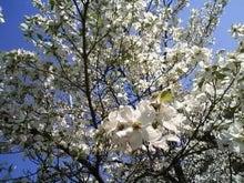 手当たり次第の本棚-花水木(白)
