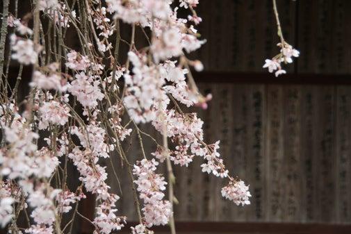 水玉模様のねこの手を借りる+空-枝垂れ桜