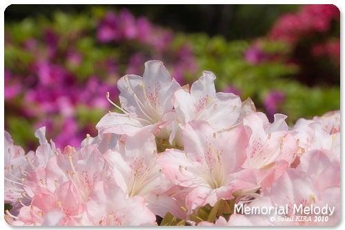 Memorial Melody 写真館-ツツジ 根津神社